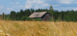 Wheat with Barn in Background