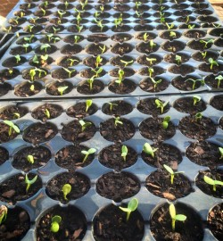 Cucumber and Melon Pods Shine and Rise Farm