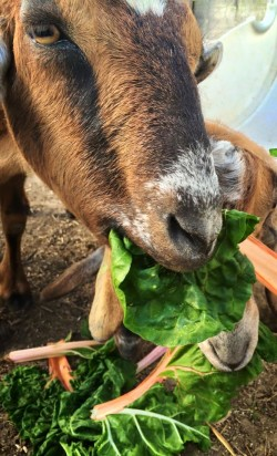 Goat Eating Greens Shine and Rise Farm