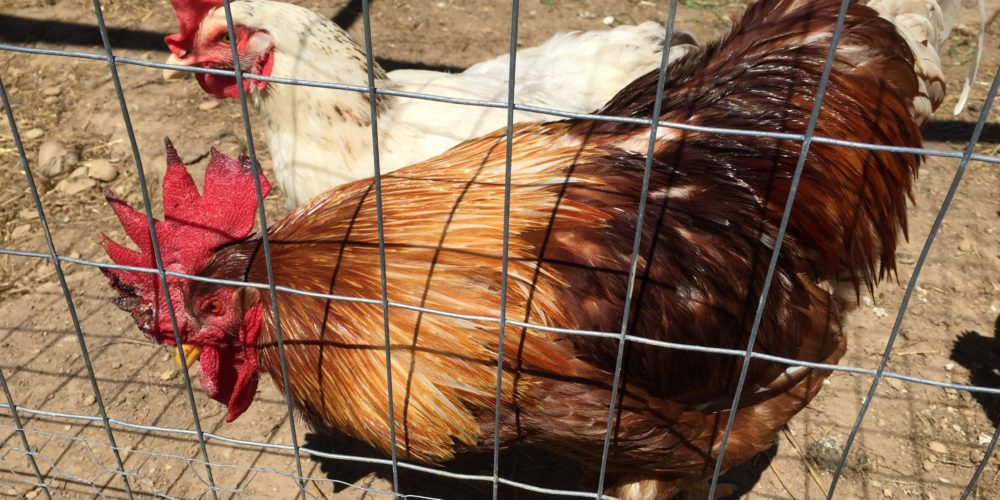 Take Action! USDA Wants to Hear from the Public on Animal Welfare in Organics