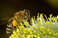 Closeup of Bee