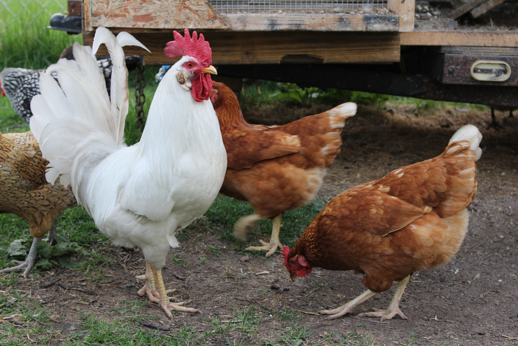 BuyingPoultry: Verifying What's on the Label