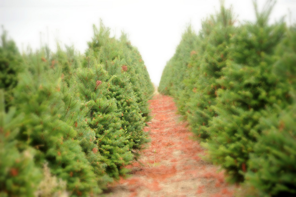 6253249096_fec8a0338f_b - Oh, Christmas Tree, Sustainable Christmas Tree - Fair Farms : Fair Farms