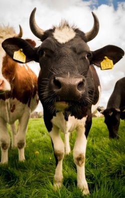 livestock-384628_640