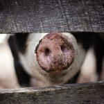 Animal Welfare Standards for Organic Livestock in Danger