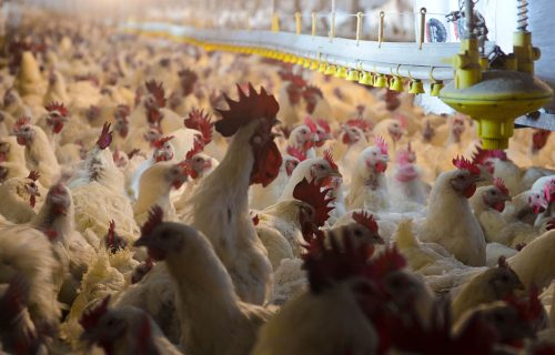 A Fowl Stench: Local Communities Concerned about Air Pollution from Industrial Poultry Houses