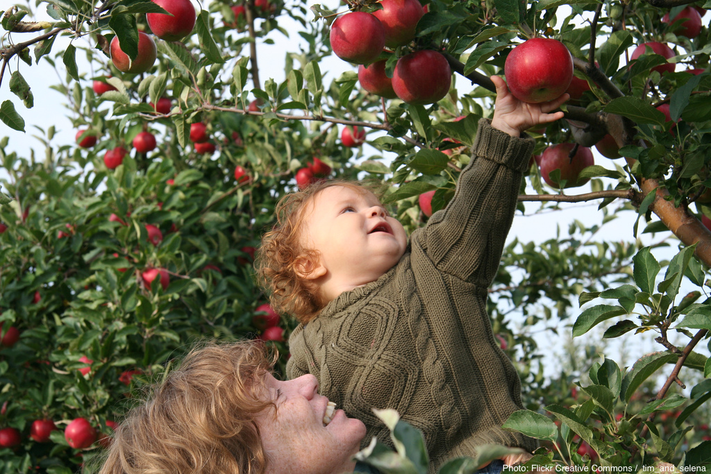 Apple Picking. Photo by: Tim & Selena Middleton