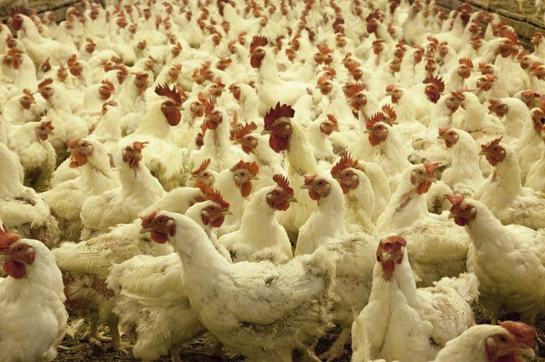 Poultry House, Pixabay